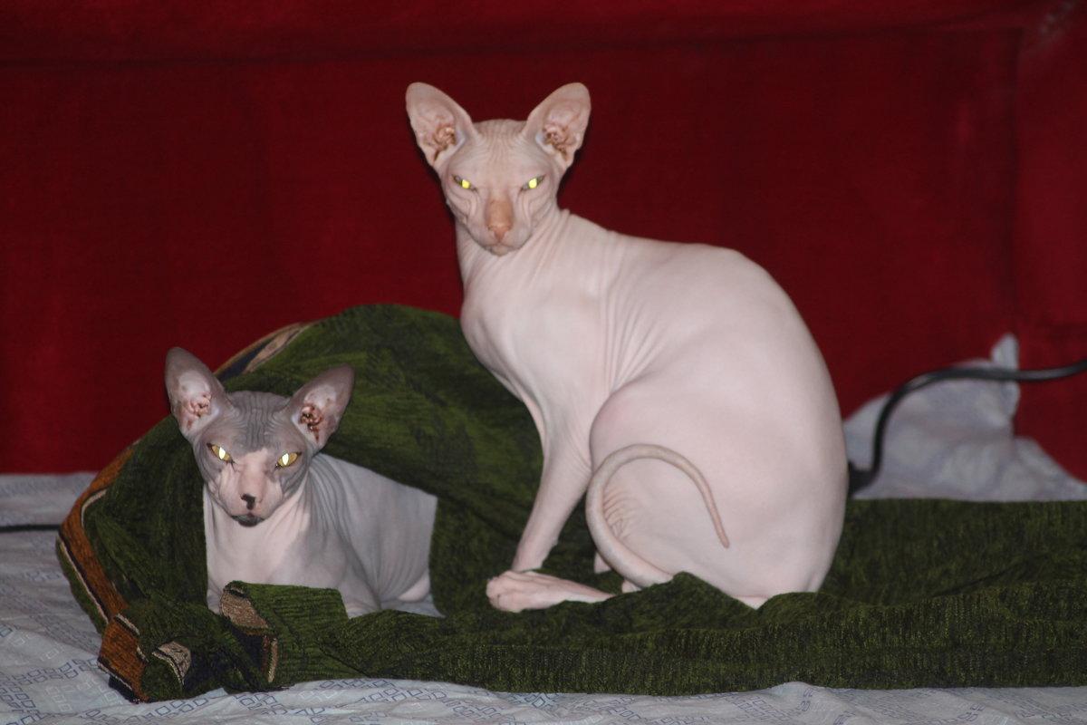 кот и кошка - maikl falkon