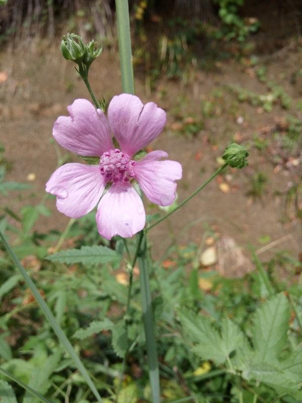 Цветок антонина