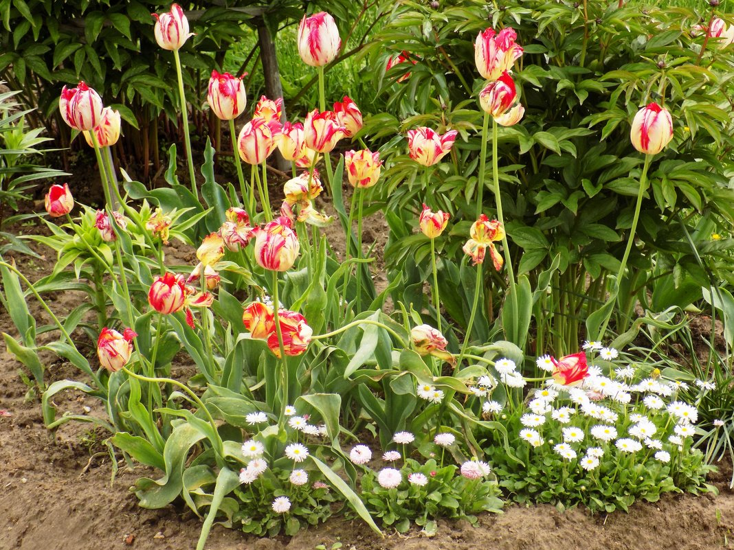 Тюльпаны - Андрей .