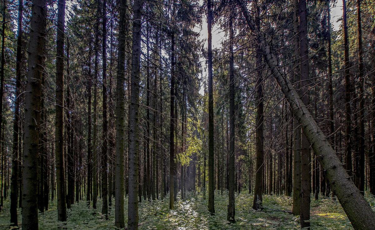 в хвойном лесу - gribushko грибушко Николай