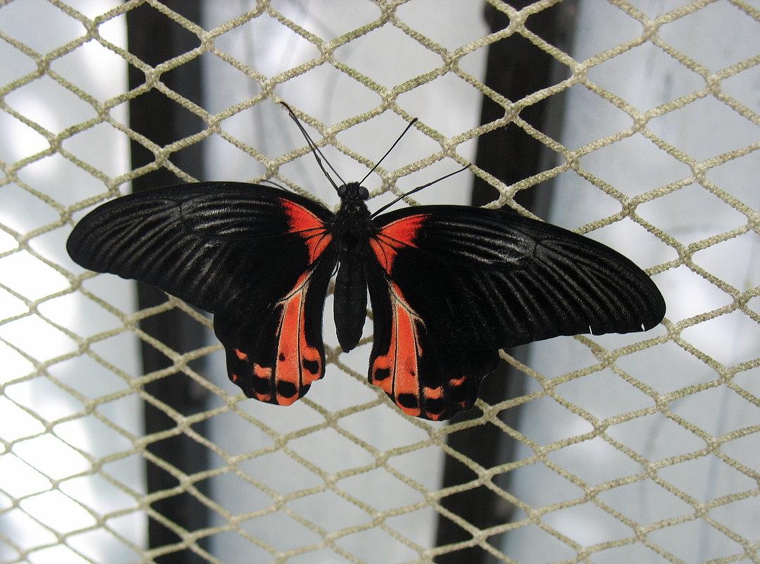 Парусник Румянцева (лат. Papilio rumanzovia) - Елена Павлова (Смолова)