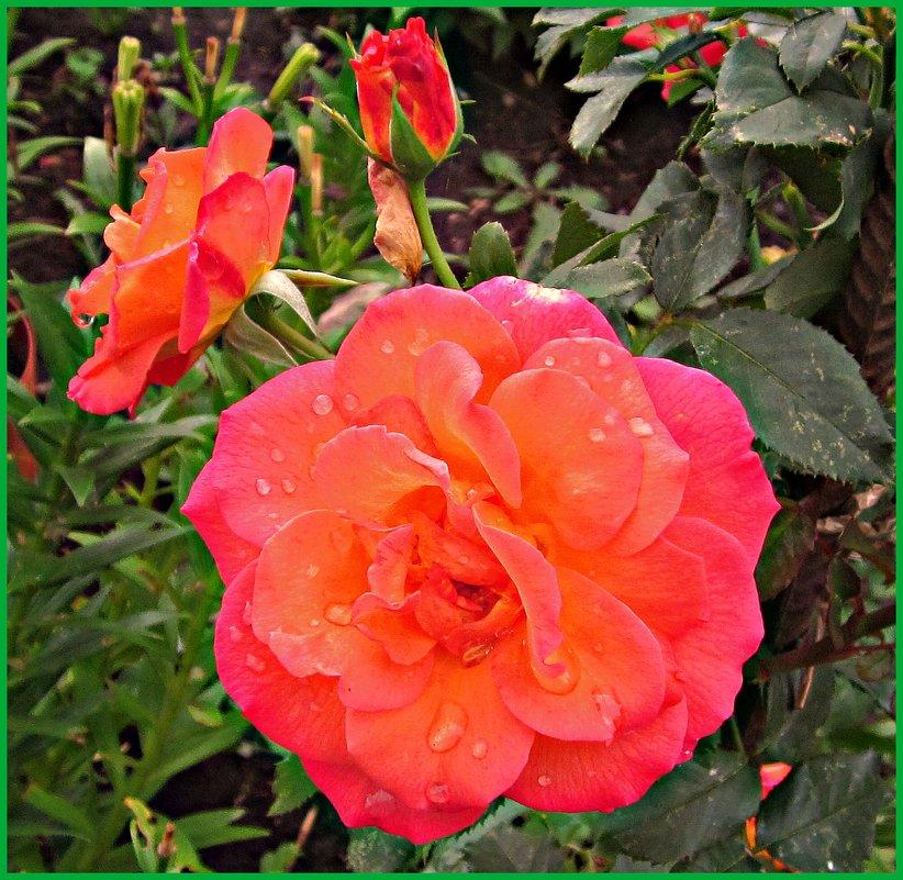 утренняя роза - Надежда