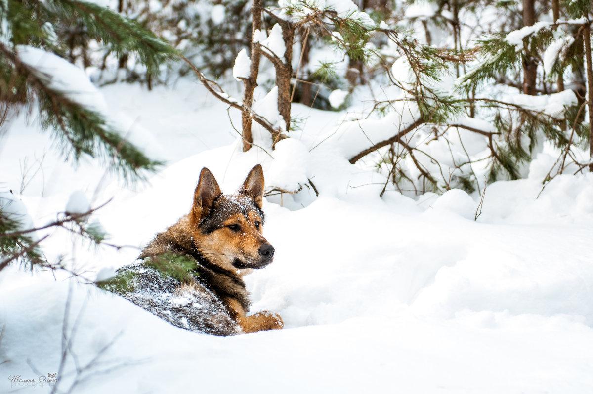 - Почти волк - - Ольга Шалина