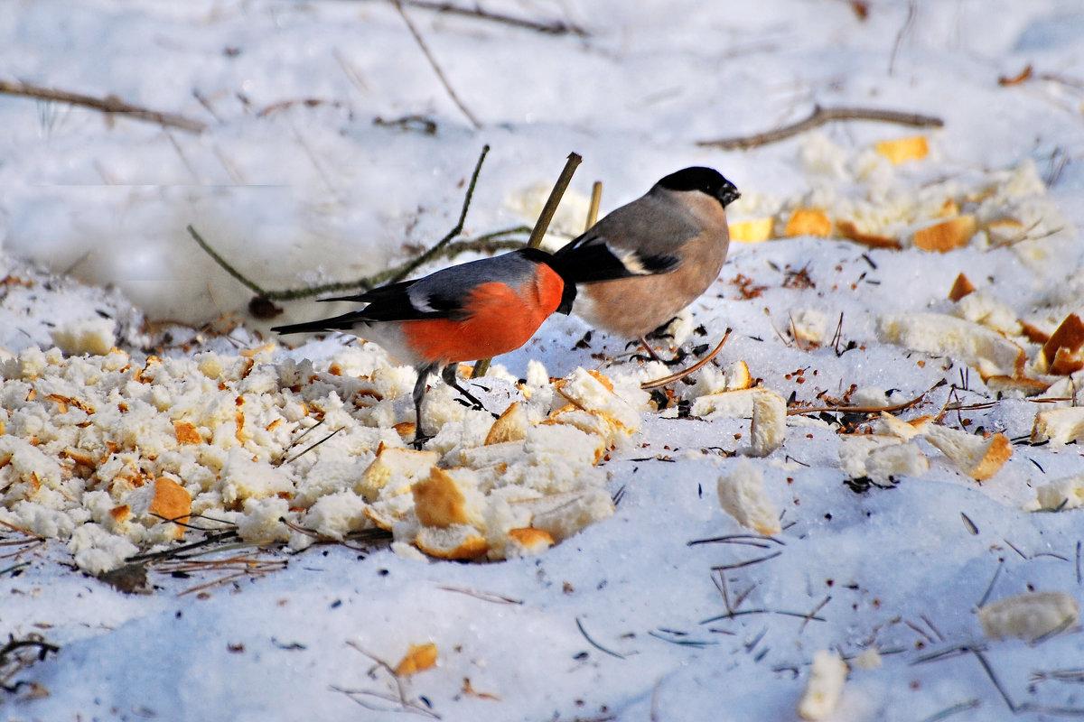 снегири - linnud