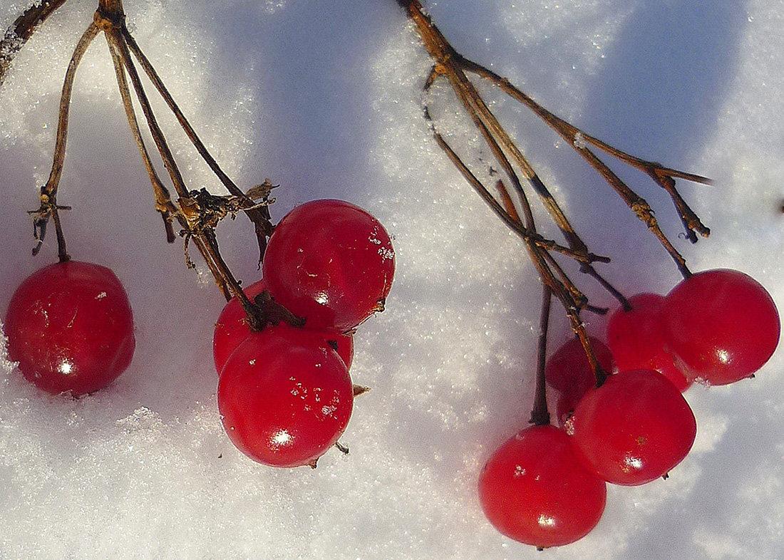 На снегу калина.... - Павлова Татьяна Павлова