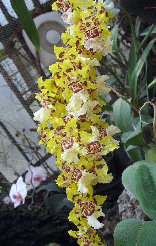 Орхидея цвета солнца - Елена Павлова (Смолова)