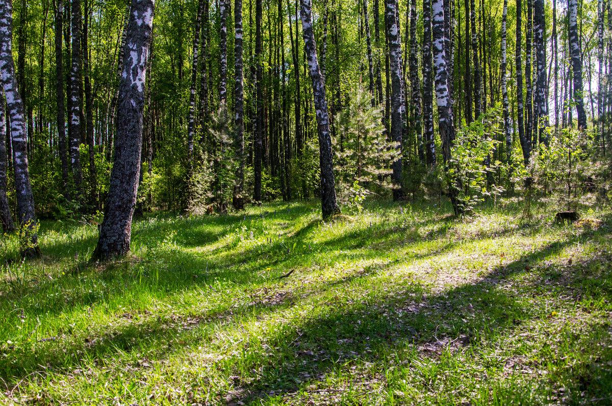Брянский лес - Александр Березуцкий (nevant60)