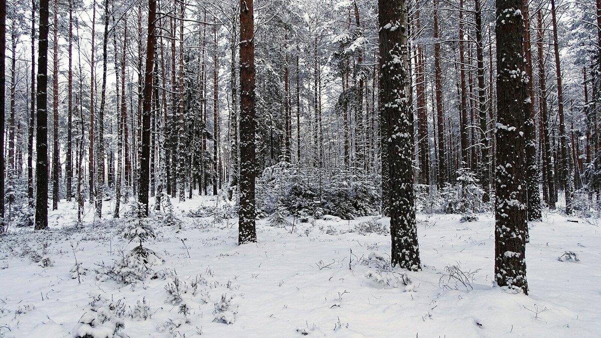 Декабрь в сосновом бору - Милешкин Владимир Алексеевич