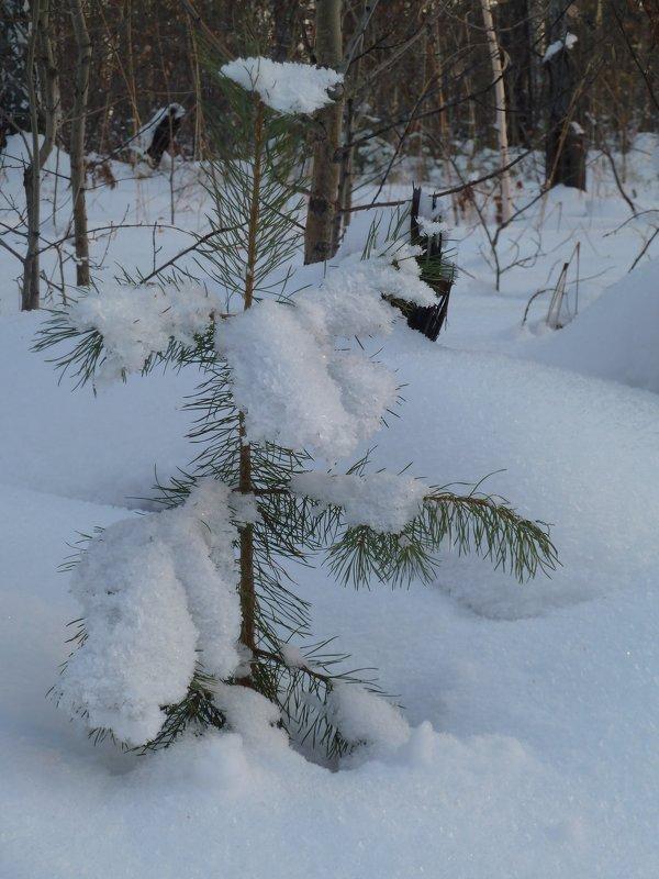 Маленькой сосеночке не холодно зимой, т.к.есть шуба и шапка - Галина