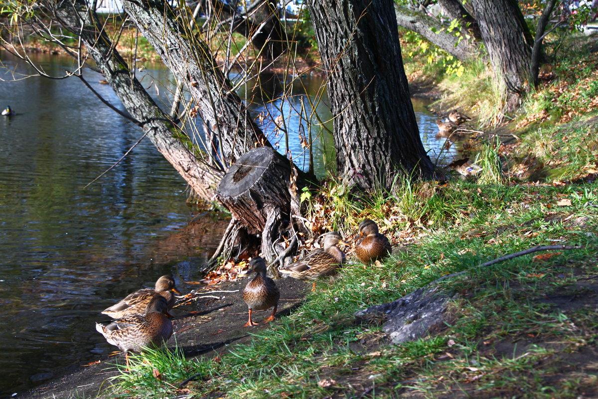 Утки на озере - lapin_valerei@mail.ru
