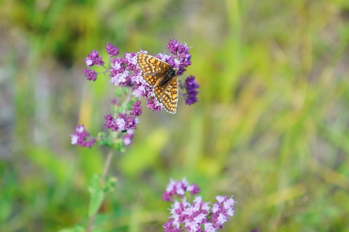 летняя бабочка - Элла Чуксина