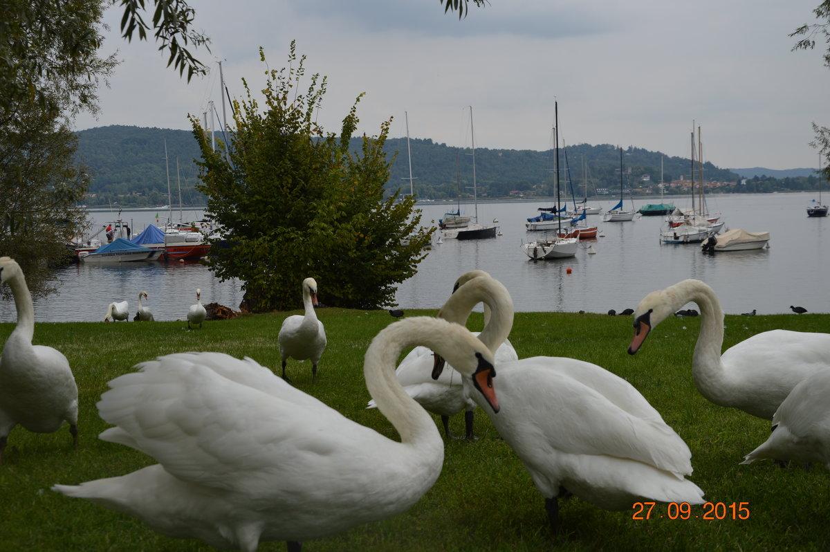 Лебеди - NataliD24