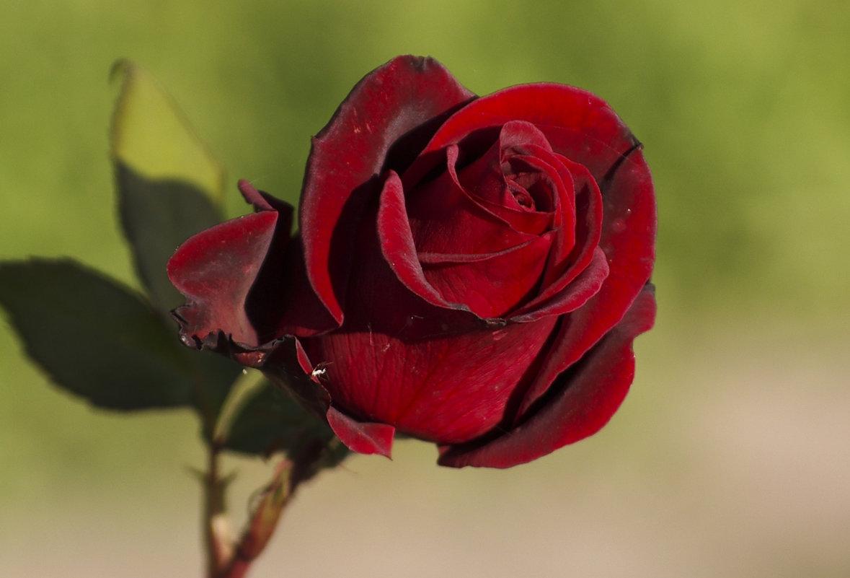 Роза осенью - Михаил Измайлов