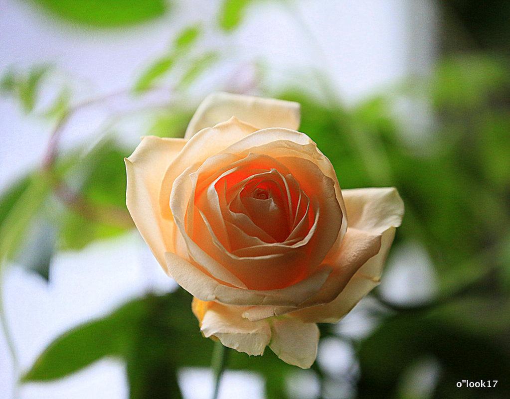 цветы на подоконнике-роза - Олег Лукьянов