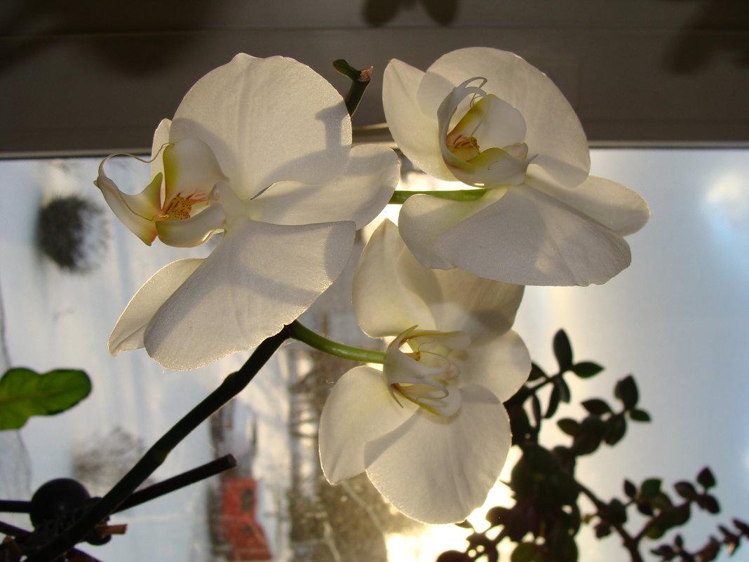 Орхидея - laana laadas