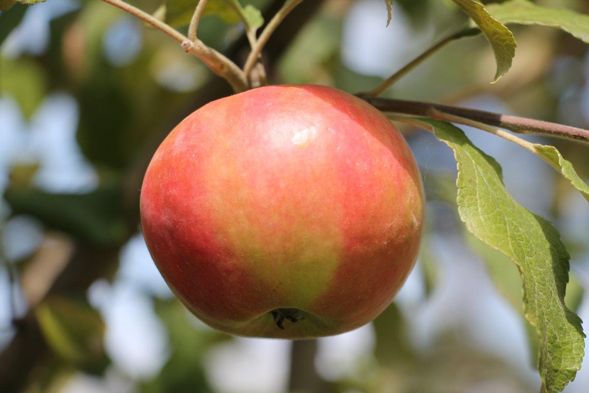 Такие яблочки выросли - Олег Афанасьевич Сергеев