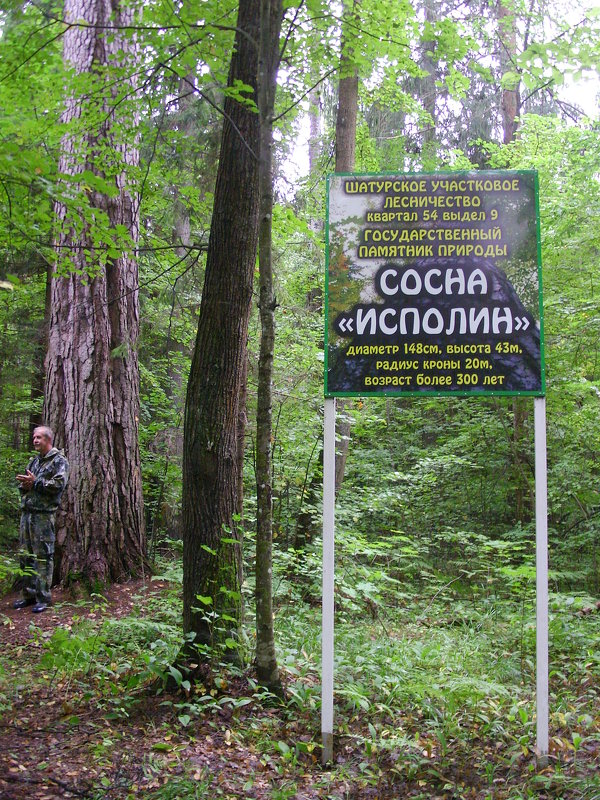 """У сосны """"Исполина"""" - Виктор Мухин"""