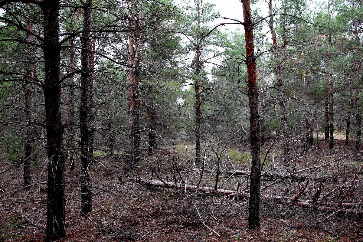 В сосновом лесу - Dr. Olver  ( ОлегЪ )