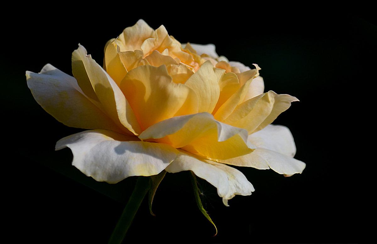 Лепестки роз — отголоски красоты - Luis-Ogonek *