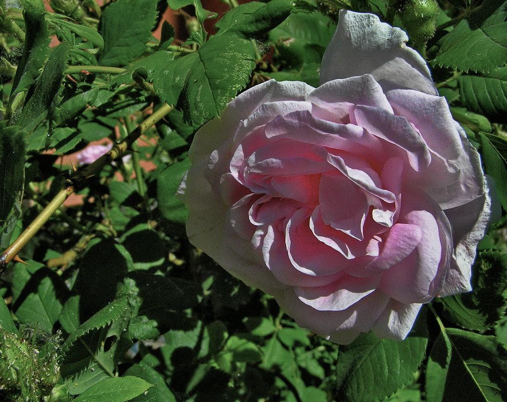 Шиповник, но настоящая роза. - Владимир Ильич Батарин