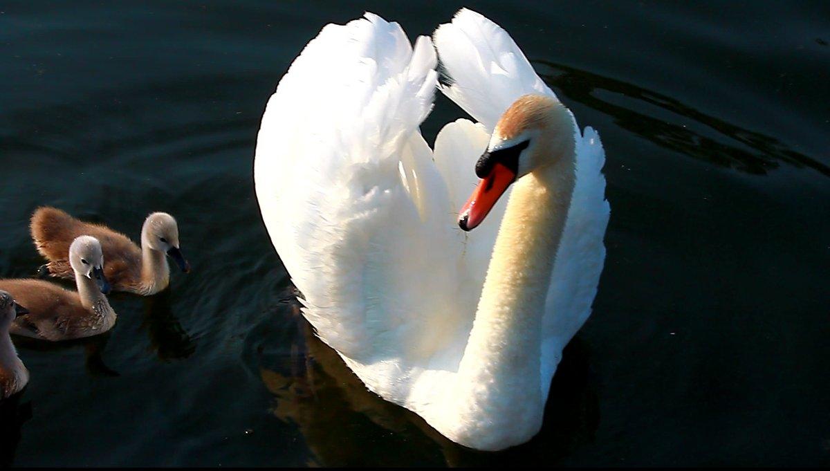 Лебедь в Сормовском парке - lapin_valerei@mail.ru