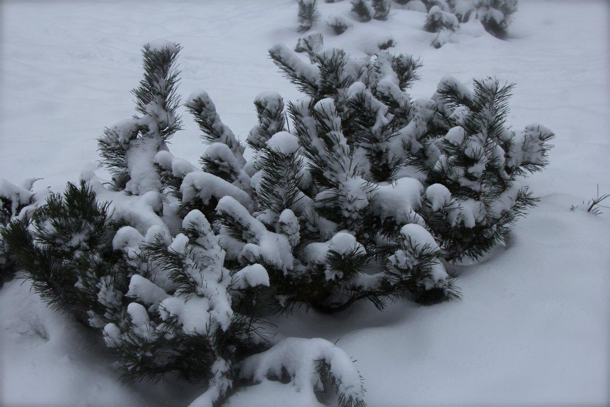 Снежком ее укутывал... - Сергей КАЗАКОВ