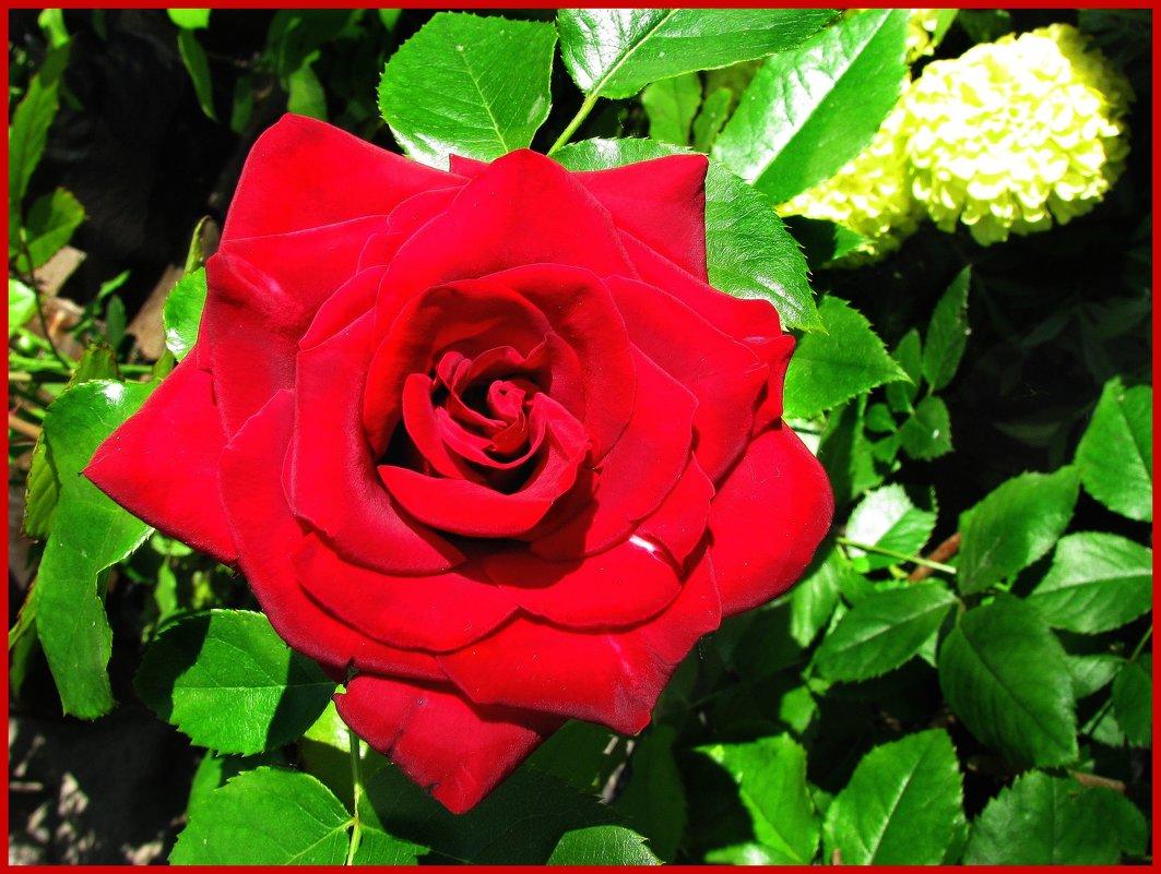 Роза - Наталья