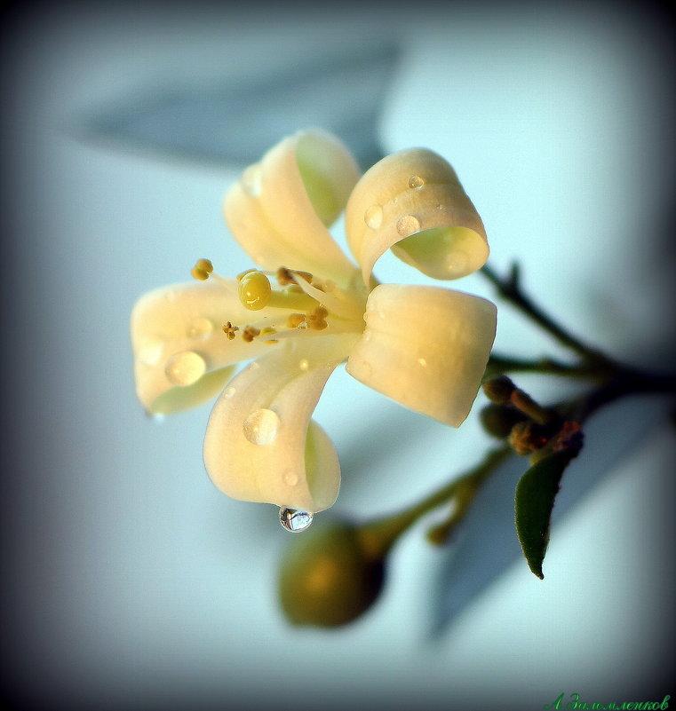 Мурайя - священный цветок японских императоров - Андрей Заломленков