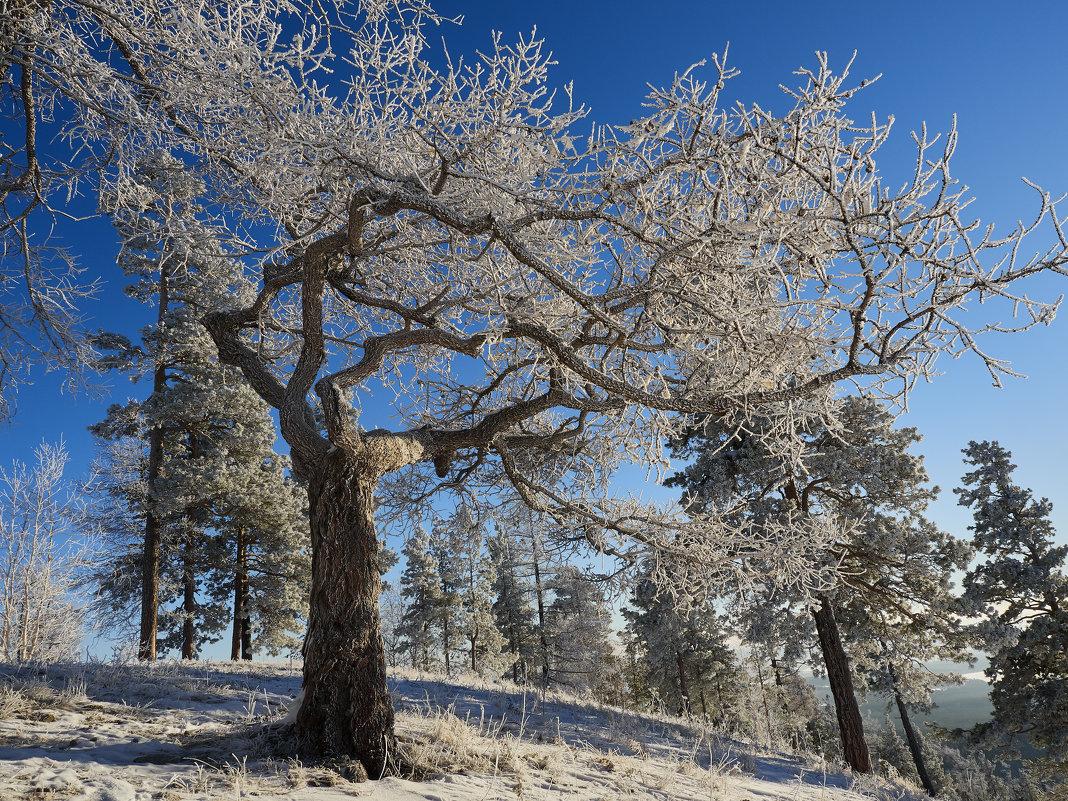 Японское дерево бонсай на Урале. - Сергей Адигамов