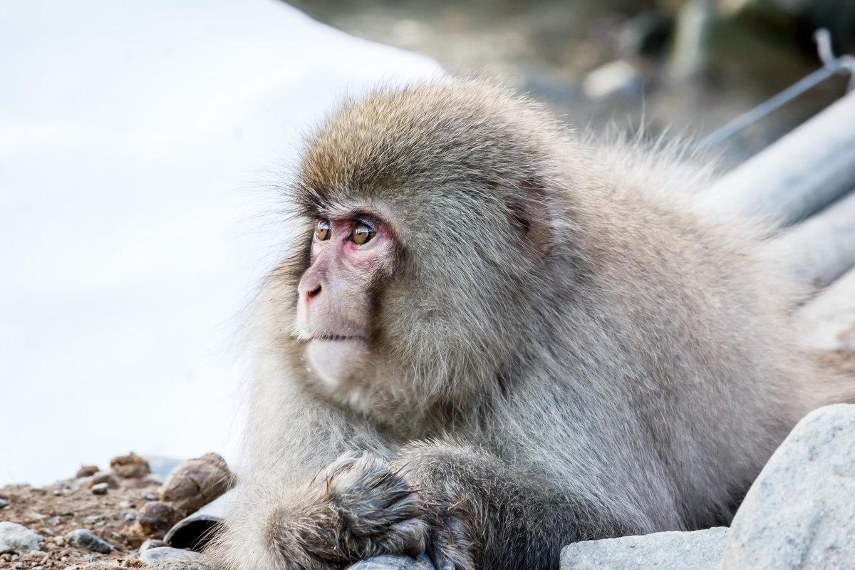 Снежные обезьянки - Екатерина Валенчиц