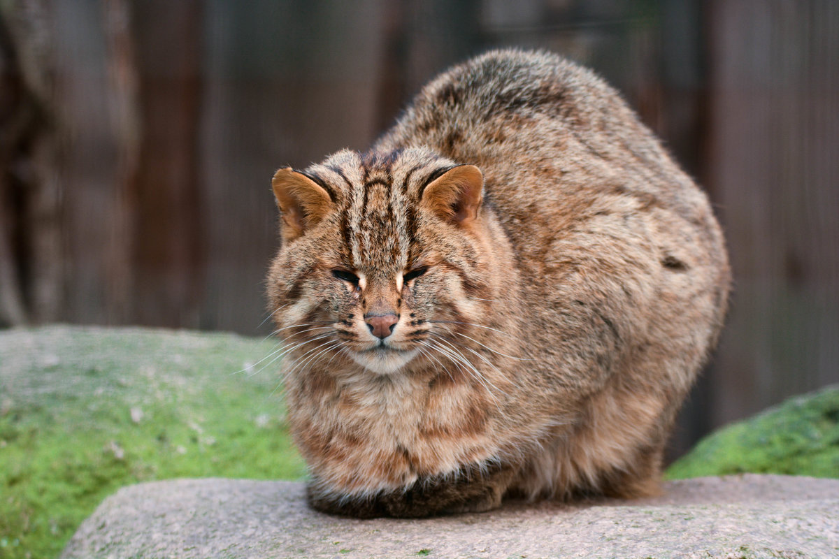 Амурский дикий кот - Лада