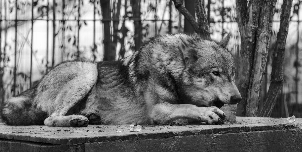 волк грызет лед - Лада