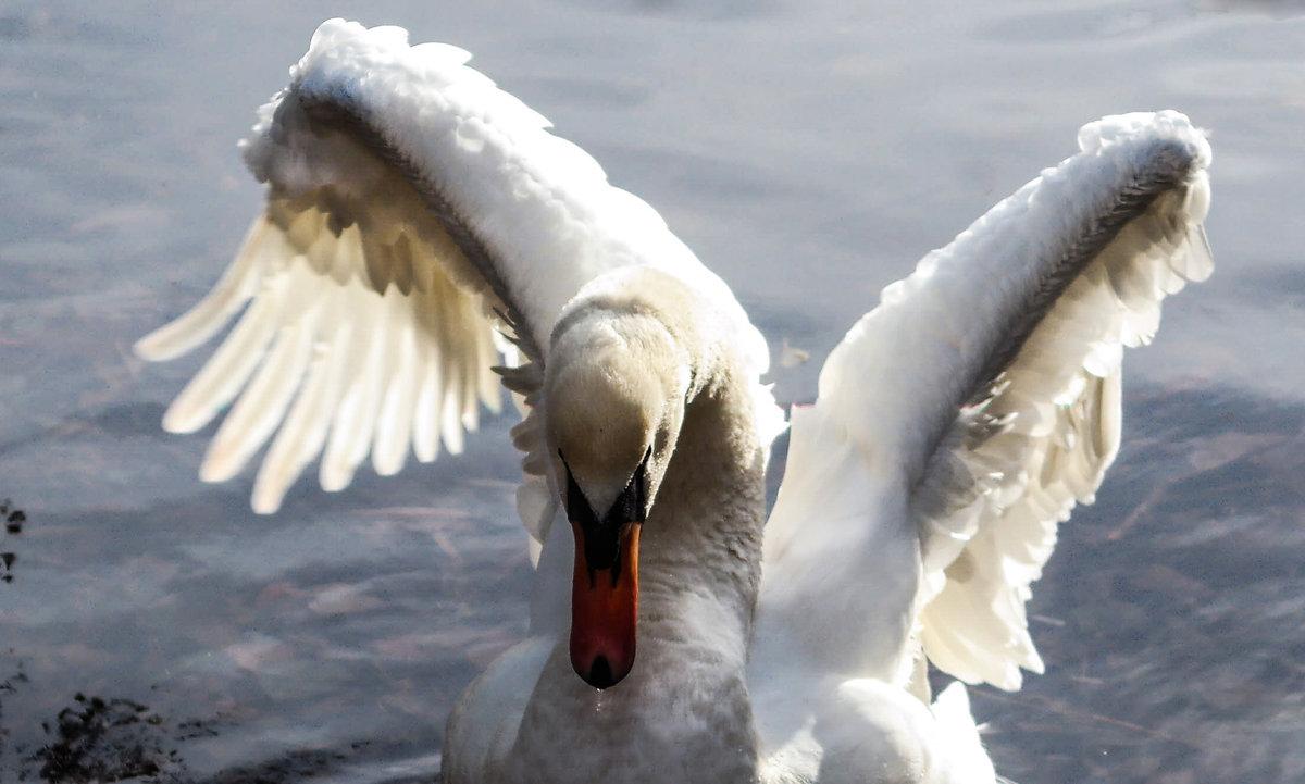 Лебедь ................... - Александр Селезнев
