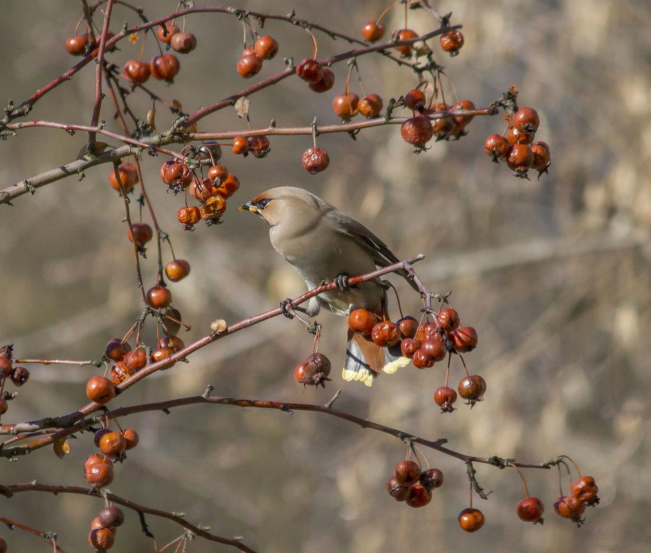 Вкусные яблоки - Елена Шел(Швыдун)