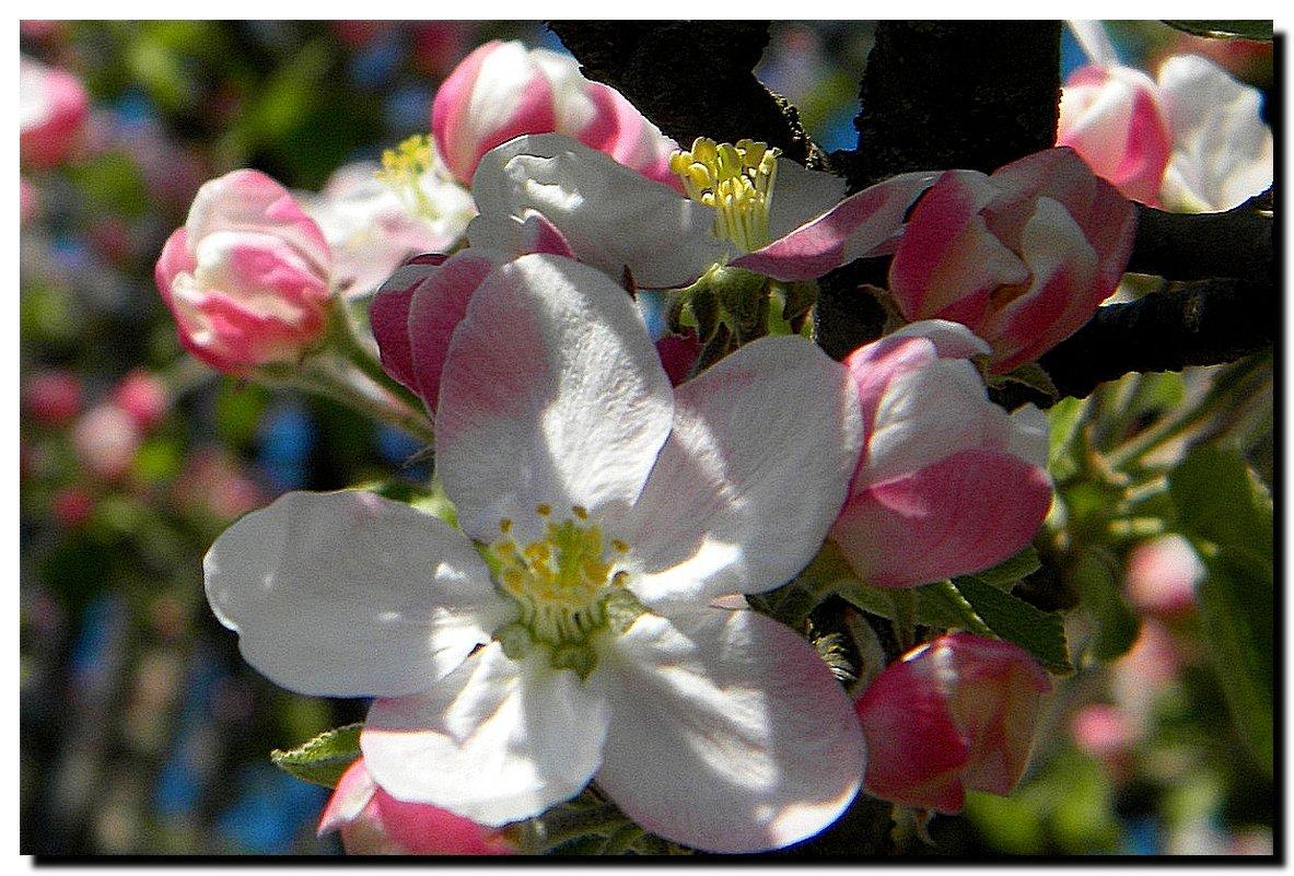 яблоня  в  цвету ! - Ivana