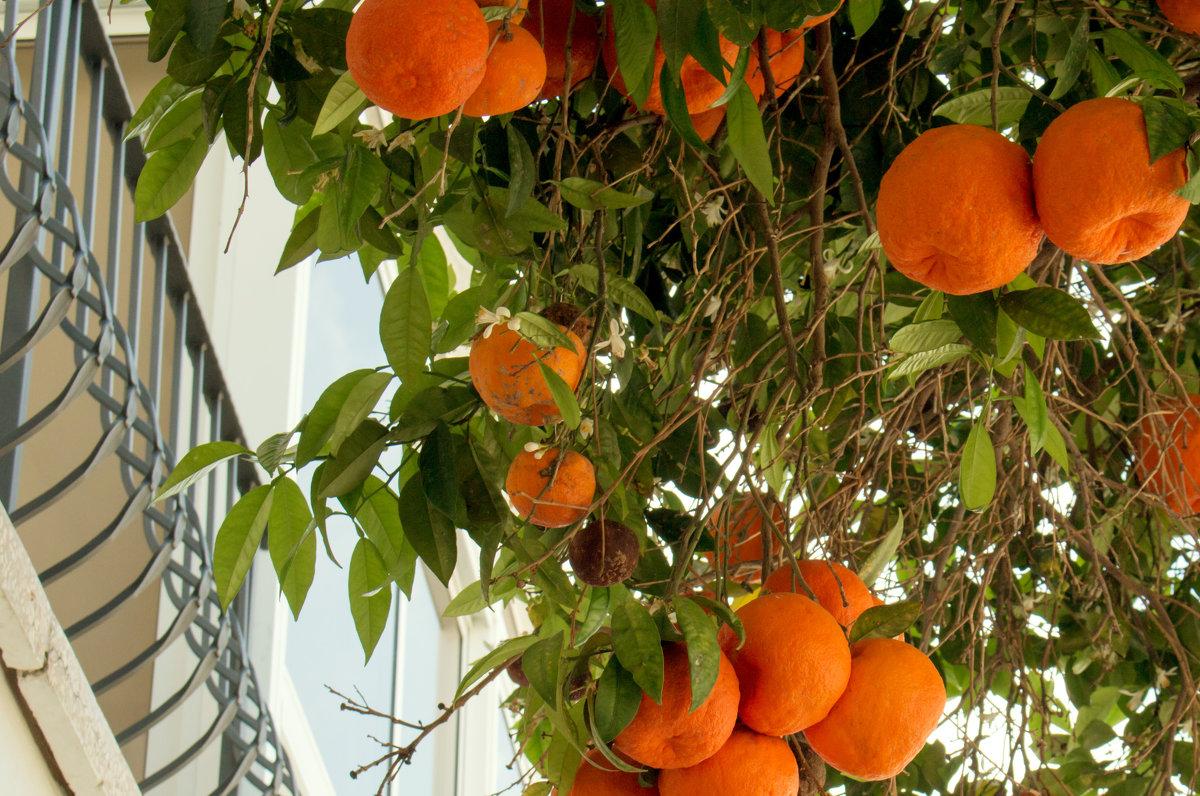 Солнечные апельсины - Татьяна Буркина