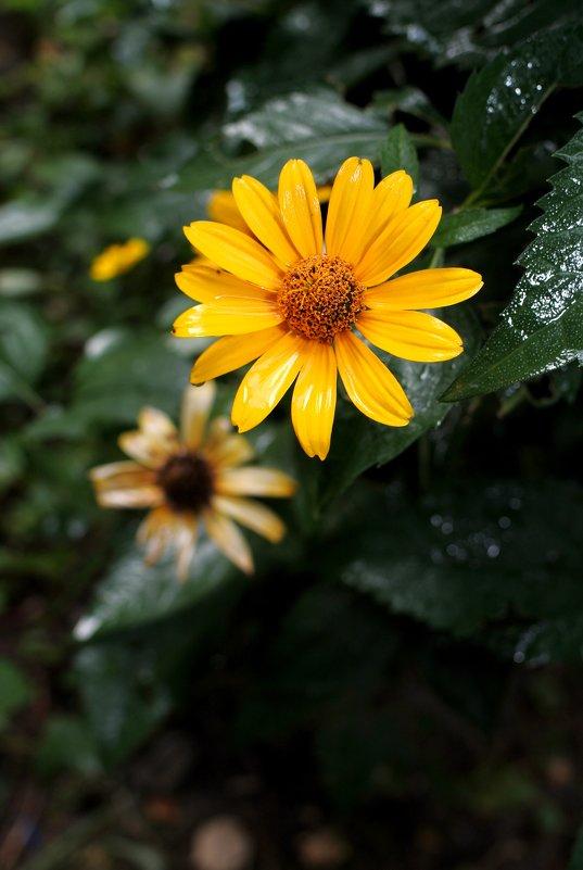 Желтый цветок после дождя - Дубовцев Евгений