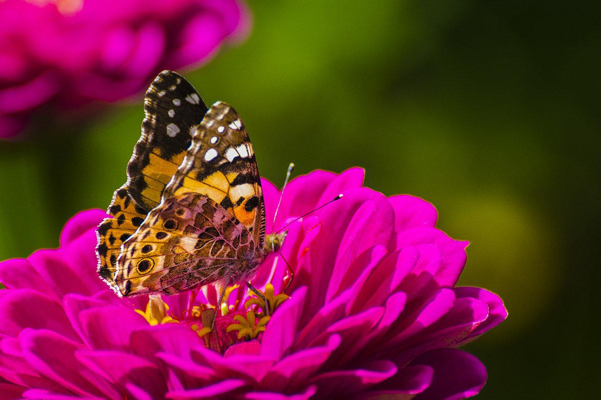 Бабочка Репейница - Valentina M.