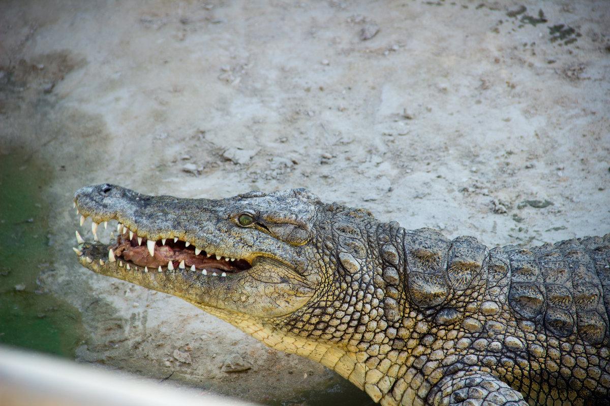 Нильский крокодил - Tiana Ros