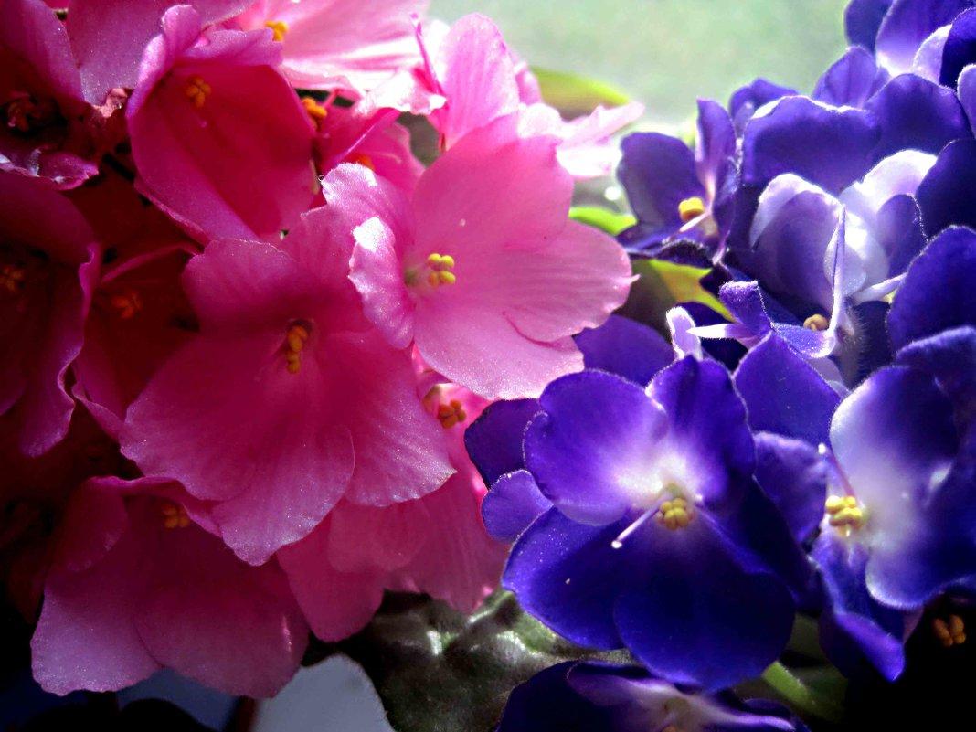 Фиалки улыбаются весне - Елена Семигина