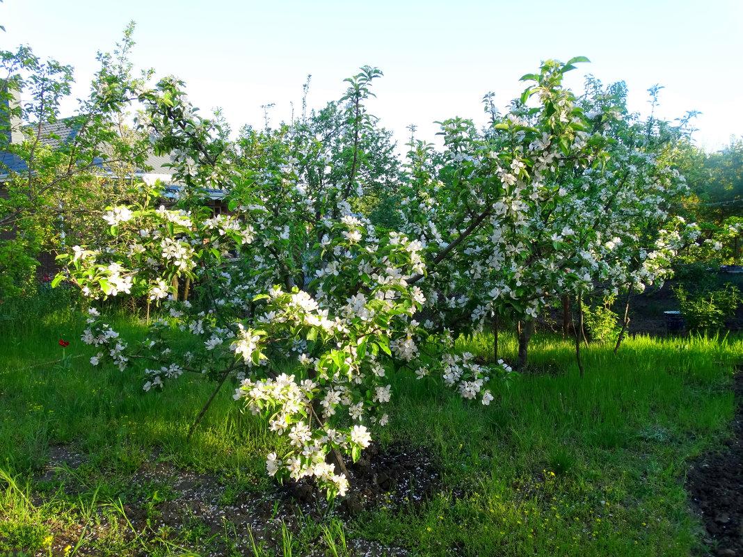 Один раз в год сады цветут... - Тамара (st.tamara)