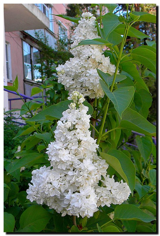цветёт  сирень  у  дома  нашего ... - Ivana
