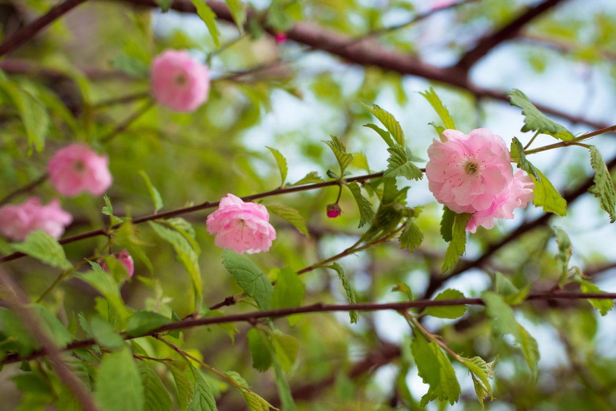 Майская роза - Олеся Загорулько
