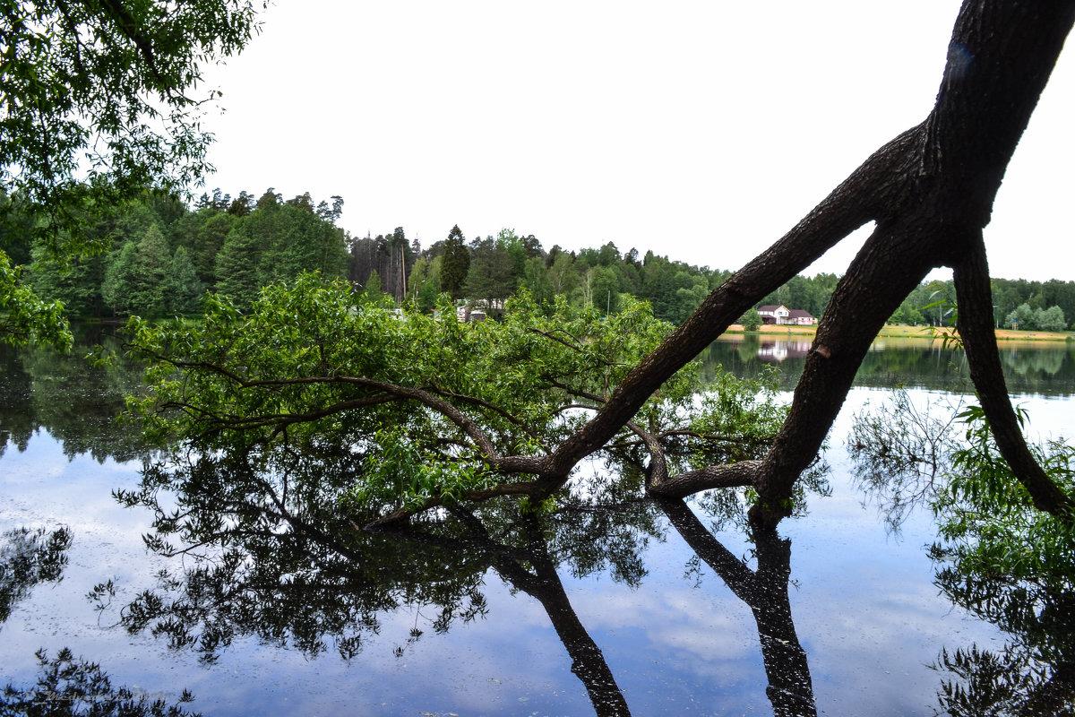 дерево в воде - Ольга (Кошкотень) Медведева