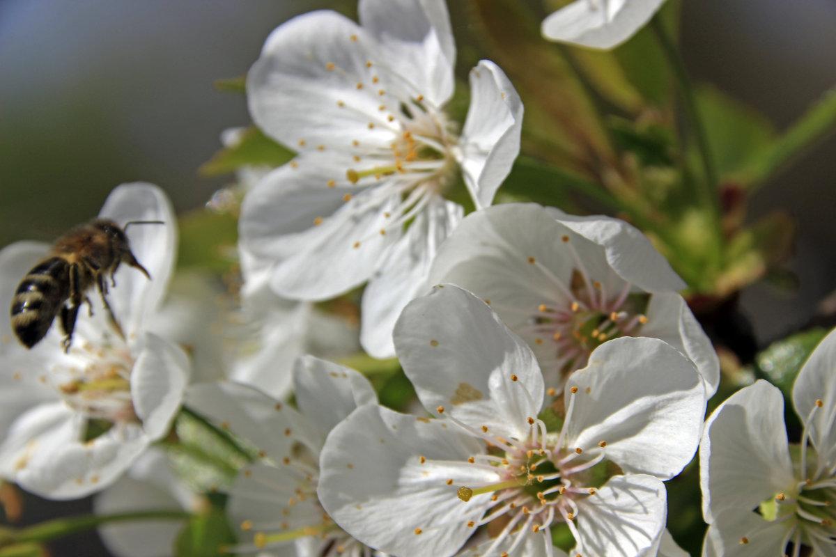 вишневый цвет - оксана