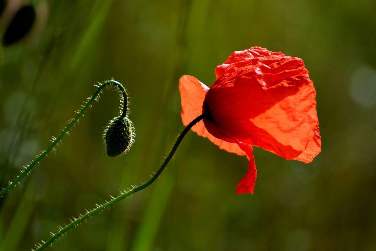 Аленький цветок - Valentina M.