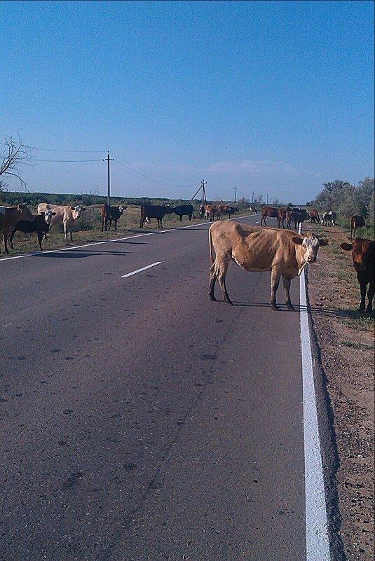 Коровы на дороге. - Наталья Денисова