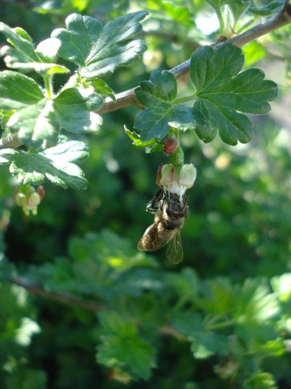 Пчелка на цветке крыжовника - Дарья Лаврухина