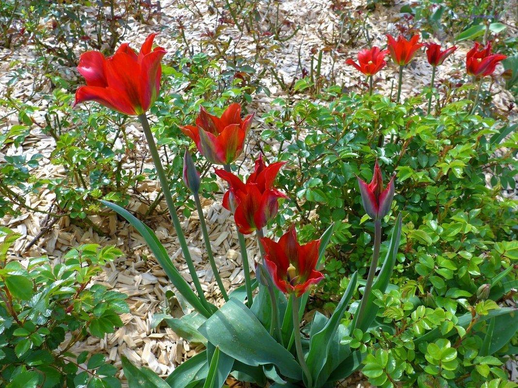 Красные тюльпаны - Nina Yudicheva
