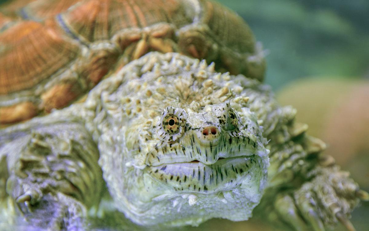 Каймановая черепаха - олег